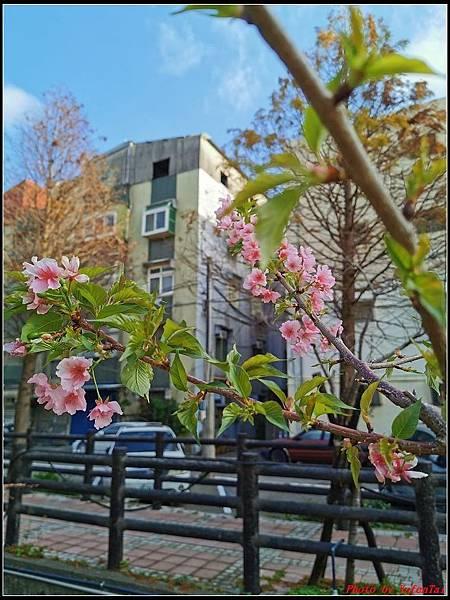 麗池公園櫻花汀甫圳賞櫻步道093.jpg