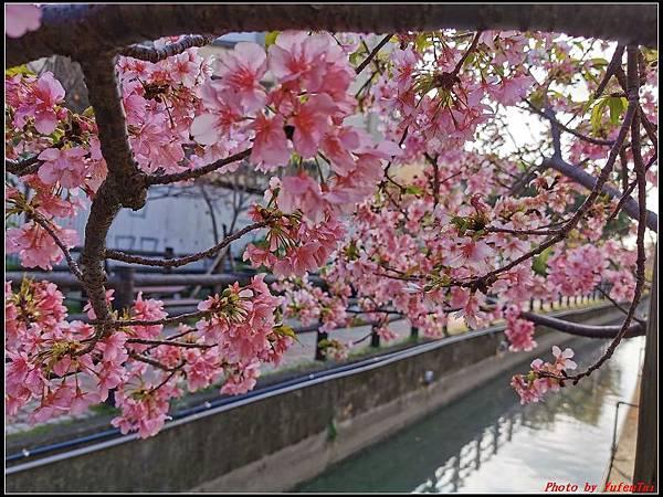 麗池公園櫻花汀甫圳賞櫻步道099.jpg