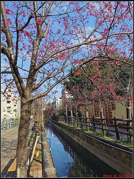麗池公園櫻花汀甫圳賞櫻步道125.jpg