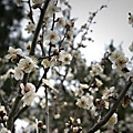 京御所的梅花