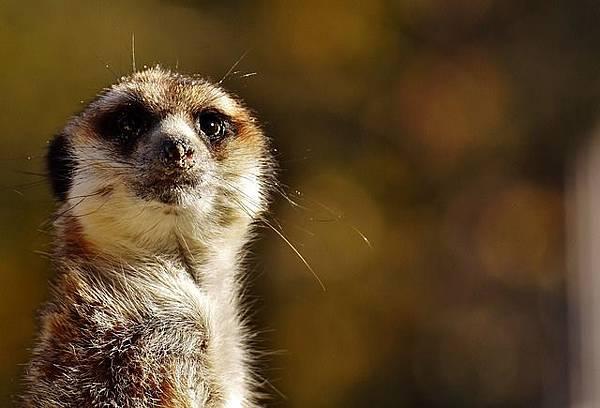 meerkat-2871127_640