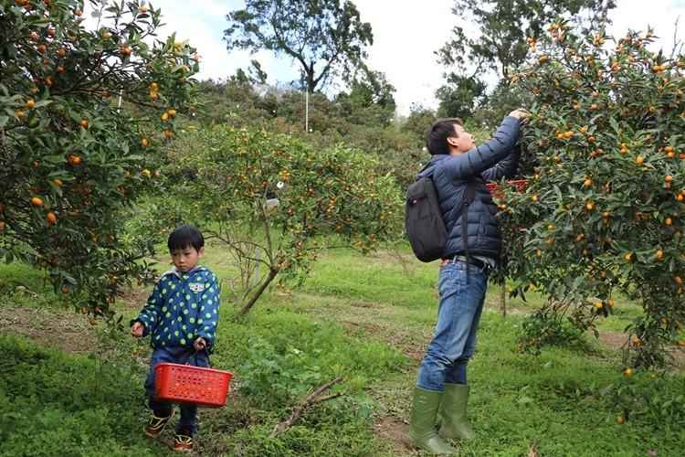 ▌宜蘭親子景點▌宜富金棗果園。小農採果+黃金蜜金棗DIY