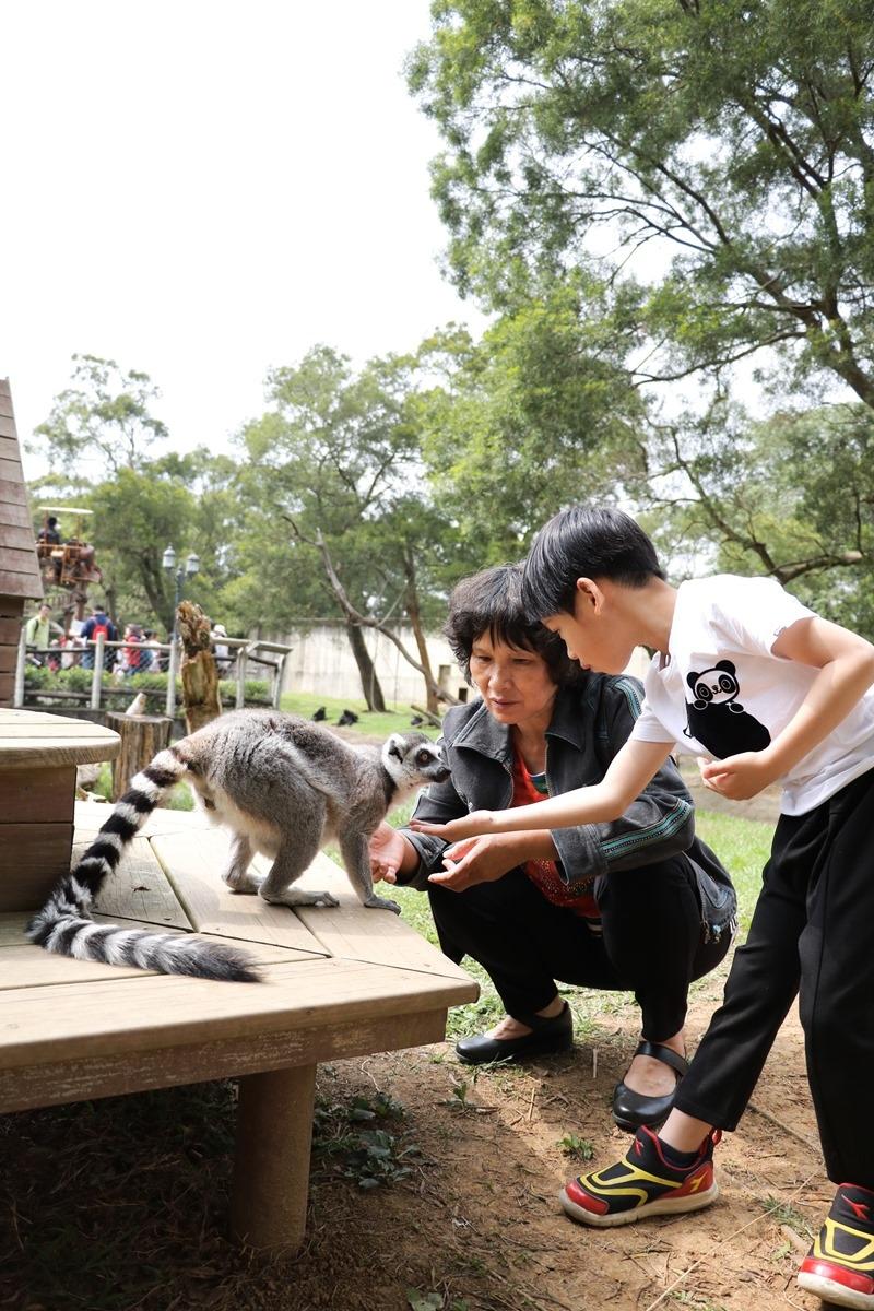▌親子體驗▌新竹關西六福村狐猴島。與環尾狐猴第一次親密接觸
