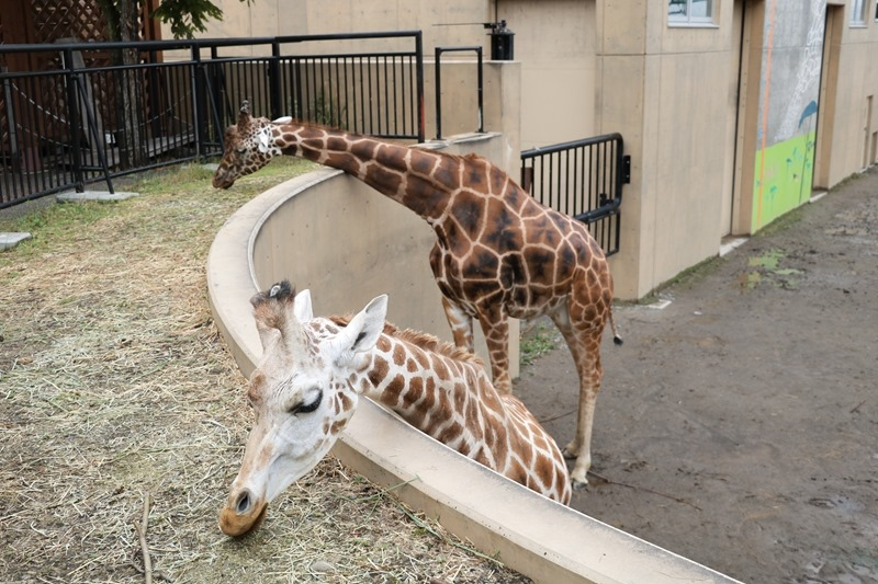 ▌北海道親子旅行5天4夜▌ Day4。旭川動物園。近距離看極地動物。冬天還能和企鵝並肩散步北國雪地