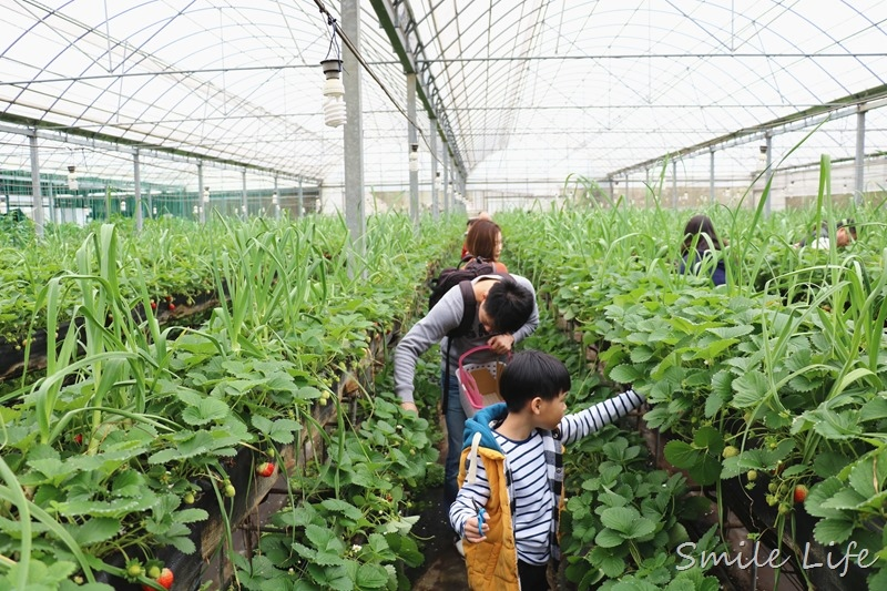 ▌親子景點▌關西高平農場 溫室有機草莓、番茄、搗麻糬、擂茶、愛玉diy。吃養生番茄火鍋