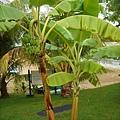 這裡很多椰子樹或香蕉樹,不知好不好吃?