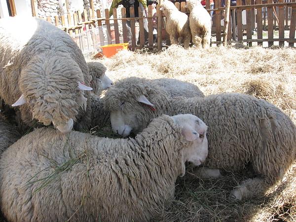 一定要的綿羊