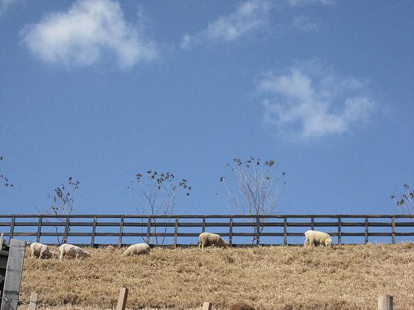 藍天下有綿羊