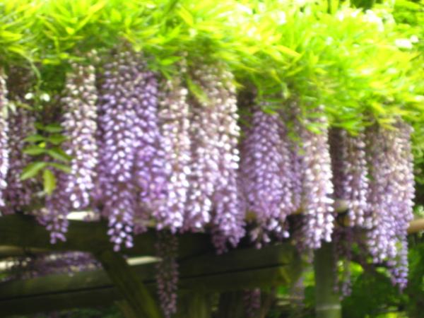 超美的紫藤花