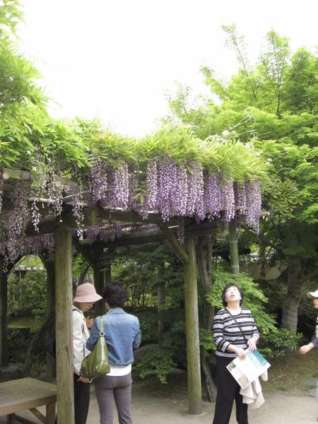 實際情景紫藤花
