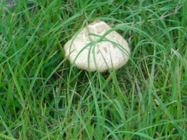 路邊的大香菇
