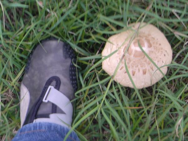 蜥蜴腳跟大香菇