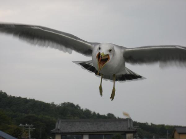 近在眼前的海鷗