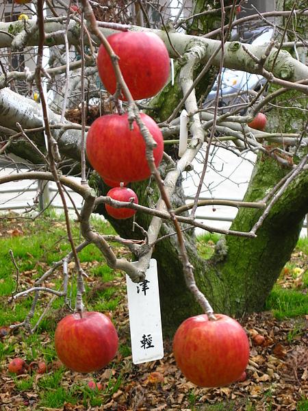 蘋果是長在樹上的喔