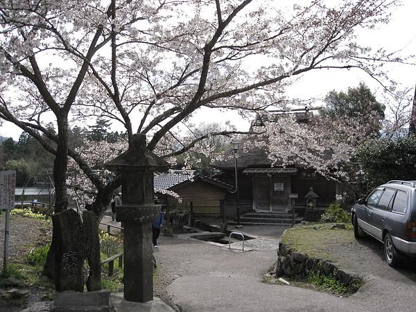 早開的櫻花