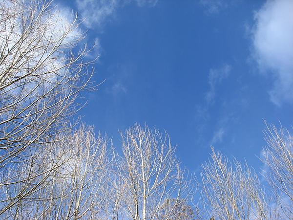 白楊與藍天