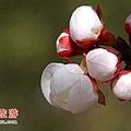 杏枝丸(杏花)-2