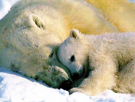 北極熊將面臨沒有地方生活的困境.jpg