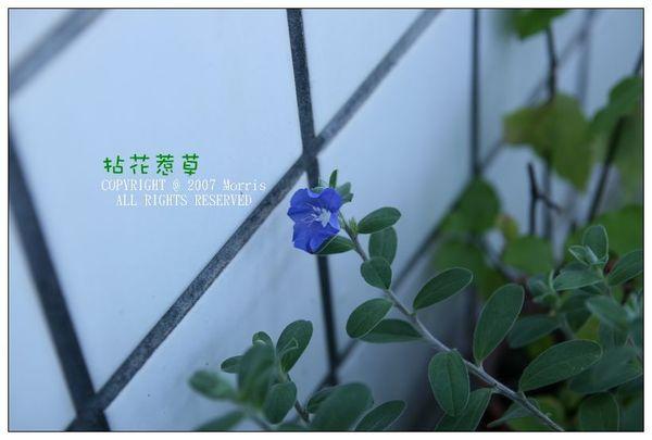 藍星花.jpg
