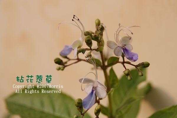 藍蝴蝶B.jpg