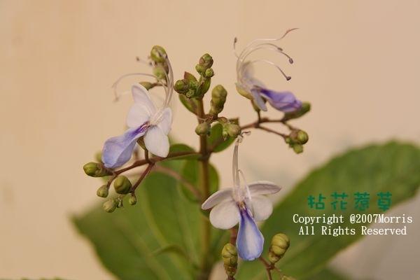 藍蝴蝶A.jpg