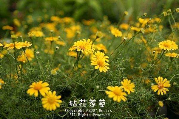 金毛菊C.jpg