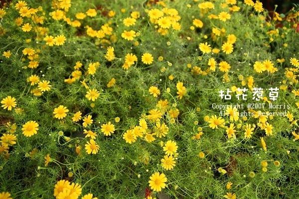 金毛菊A.jpg