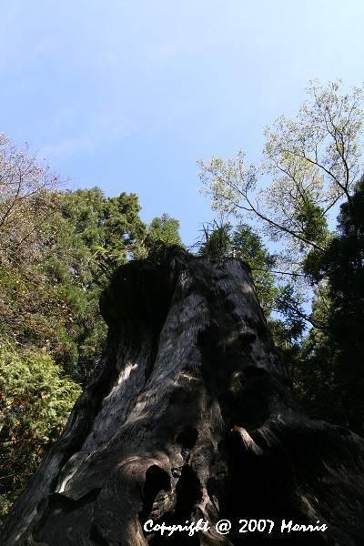 千年檜木 (2).jpg