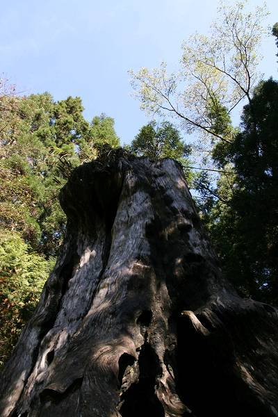 千年檜木 (1).jpg