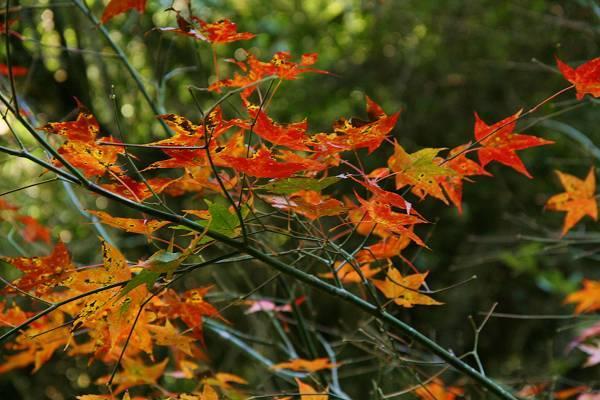 槭紅 (12).jpg