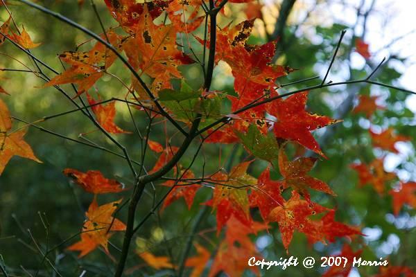 槭紅 (11).jpg