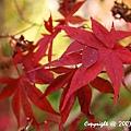 槭紅 (10).jpg