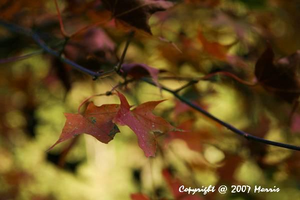 槭紅 (9).jpg