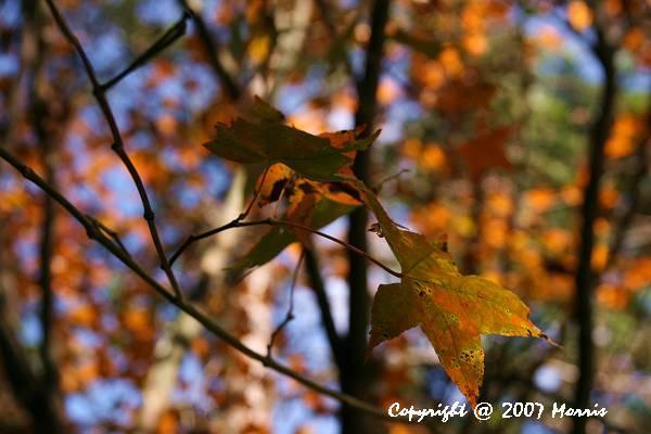 槭紅 (8).jpg