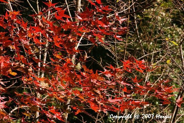 槭紅 (7).jpg