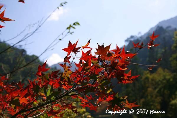 槭紅 (6).jpg