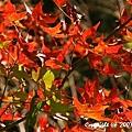 槭紅 (5).jpg