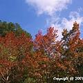 槭紅 (4).jpg