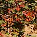 槭紅 (3).jpg