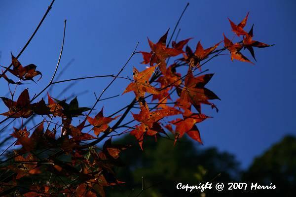 槭紅 (2).jpg