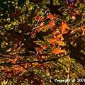 槭紅 (1).jpg