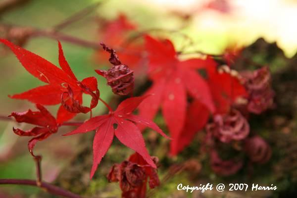 槭紅.jpg