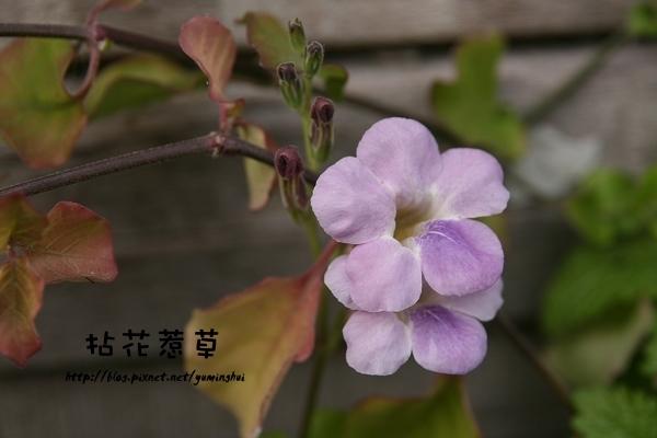 紫色赤道櫻草 (3).jpg