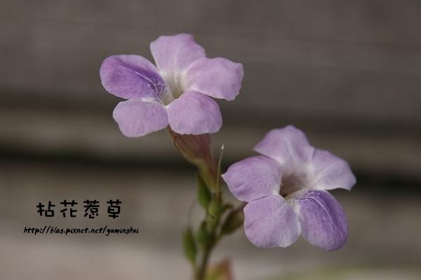 紫色赤道櫻草 (2).jpg