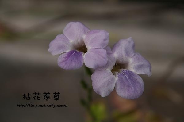 紫色赤道櫻草 (1).jpg