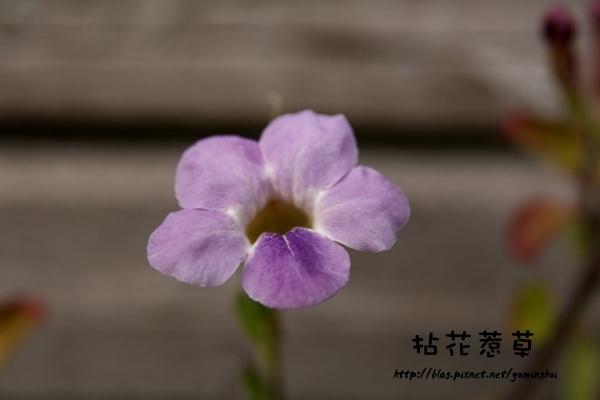 紫色赤道櫻草.jpg