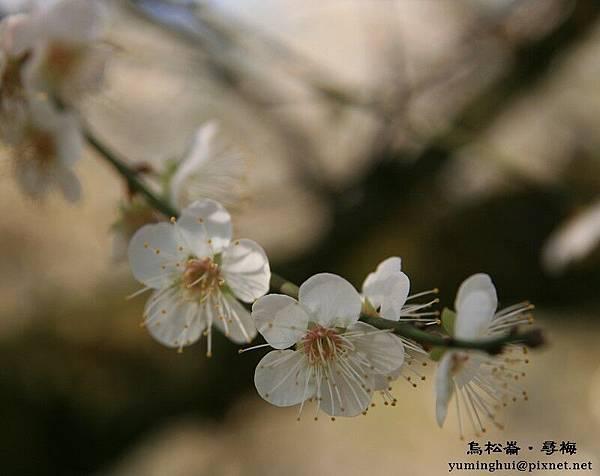 烏松崙‧尋梅 (10)
