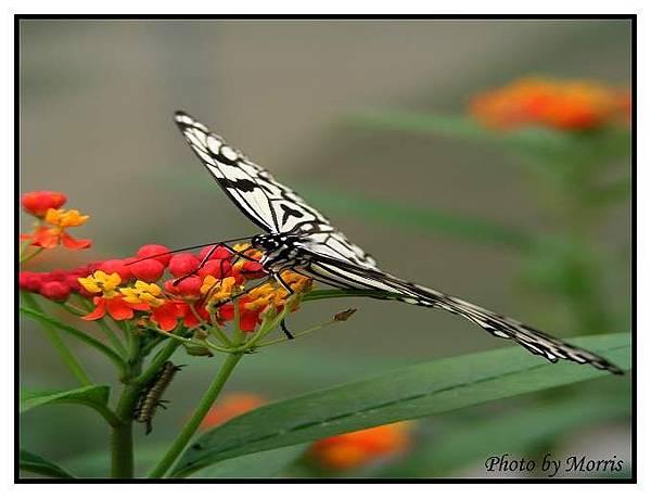 大白斑蝶.JPG