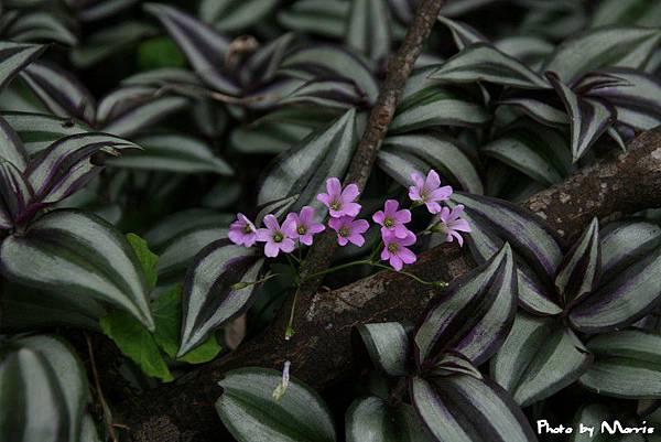 紫花酢漿草 (13).jpg