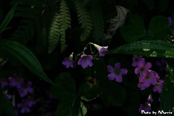 紫花酢漿草 (12).jpg